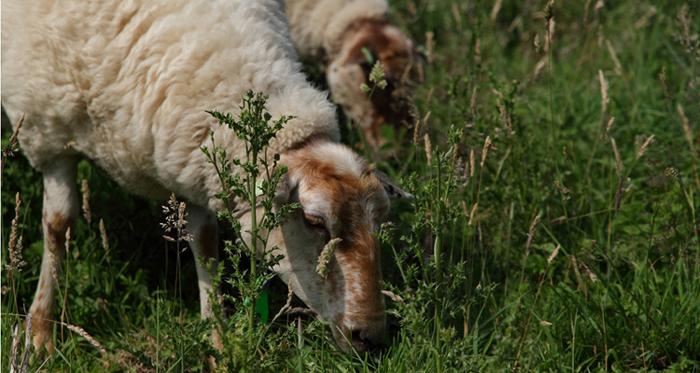 Het schaap, partner op het platteland voor landschap en natuurbeheer
